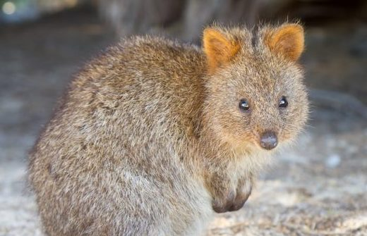 Quokkas on the savannah? How ARENA's work could help spur renewables in Africa Image