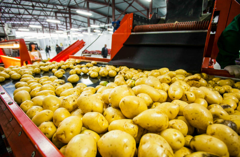 Potatoes on the manufacturing assembly line